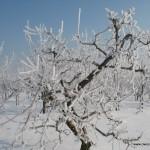 Sad w zimowej bieli.