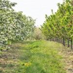 Aleja jabłoniowo-czereśniowa